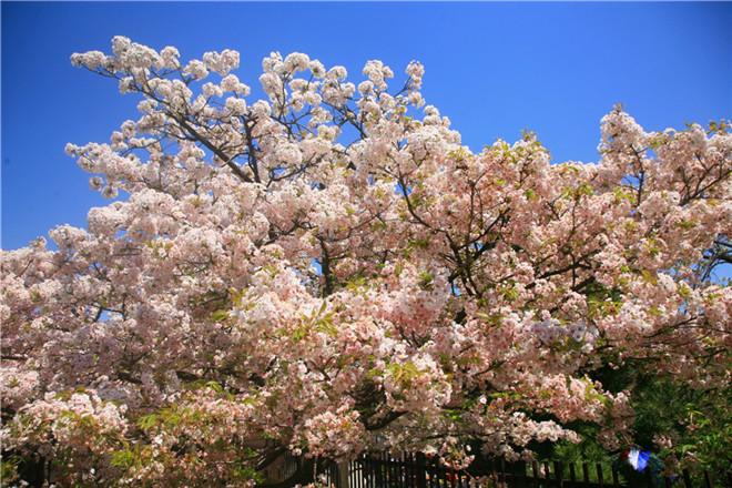 樱花节08.jpg