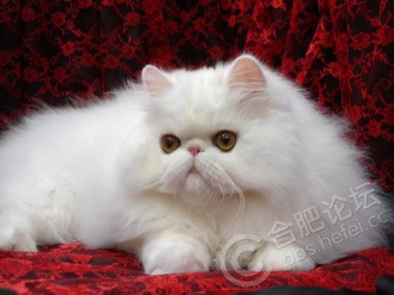 如今,人们的生活水平大大提高,饲养宠物成为许多人时尚生活的一部分。除了猫,狗,鸟以外,豚鼠,蛇,藏獒等也成为一些人的新宠。生活中有宠物为伴,确实会增添很多的乐趣,然而,宠物自身也是病原携带者,应当心宠物带来的传染病。 [url=]图片[/url] 猫是弓形虫病的主要传染源。弓形虫寄生于细胞内,随血液流动,到达全身各部位,使人的免疫力下降,患各种疾病。猫身上和口腔内常常有弓形虫包囊和活体,直接接触猫易受感染,对孕妇的威胁最大。病原可通过胎盘感染胎儿,直接影响胎儿发育,其危险性较未感染孕妇大10倍,可引起流产