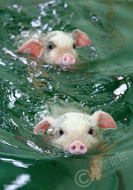 小猪素材10.jpg