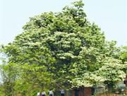 合肥目前有2348株古树名木