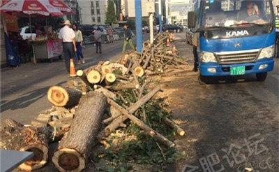 【多图】白水坝路边的杨树被砍了