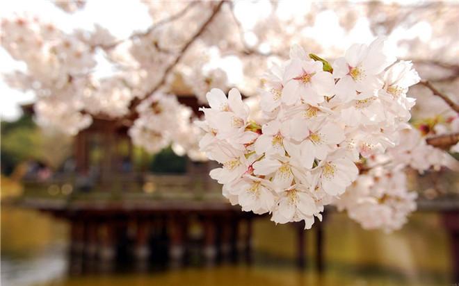 樱花节13.jpg