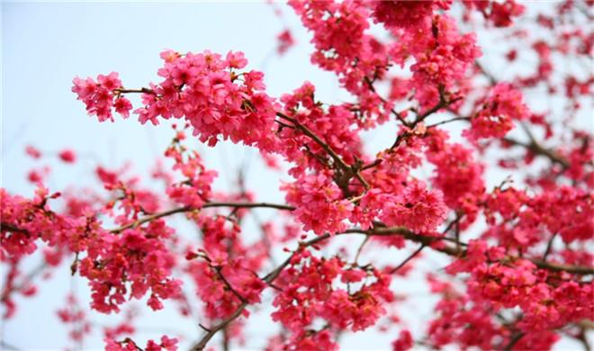 樱花节14.jpg