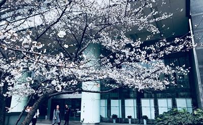 【美哉】合肥北一环财富广场门前樱花已盛开