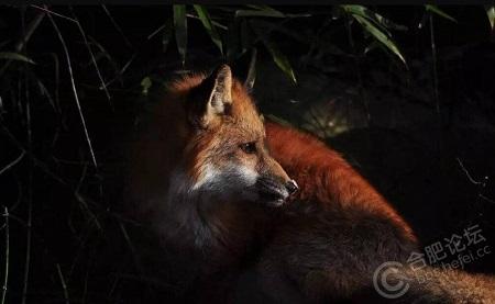 合肥公园惊现红色小狐狸