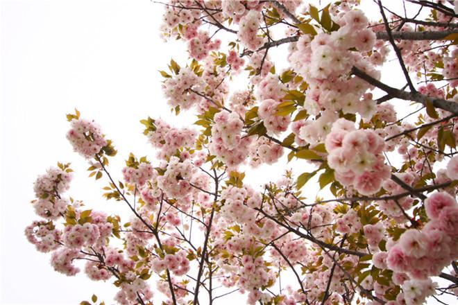 樱花节04.jpg