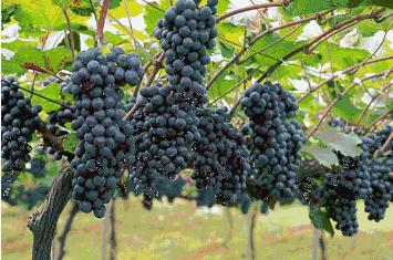 金奖葡萄!好吃不贵!5斤大圩鲜来鲜得生态园有机葡萄尝鲜价。领劵立减35!